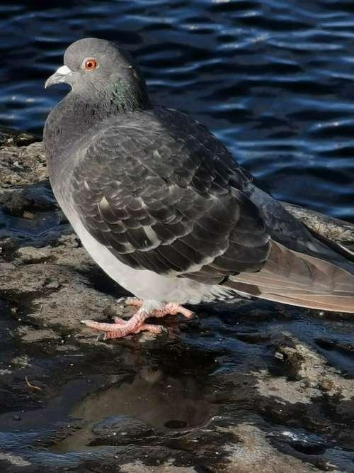Pigeon Dove Bird Water Animal