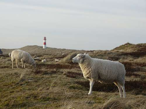 Sylt Elbow Sheep Grasses Grass Meadow Nature