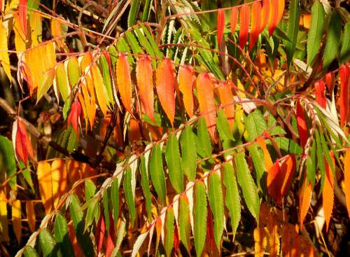 Sumac Tree Rhus Typhina Tree Colors Autumn