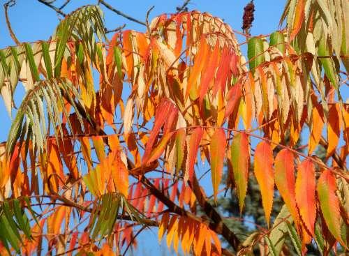 Sumac Tree Rhus Typhina Tree Colors Autumn