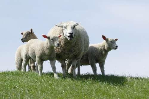 Dike Sheep Lambs Lamb North Sea Dike Mecklenburg