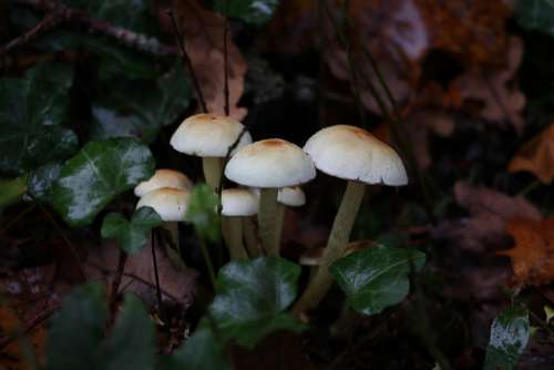 Mushrooms Autumn Nature Forest Ivy Plant