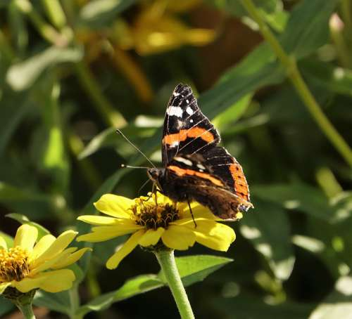 Butterfly Flower Admiral Autumn Nature Insect