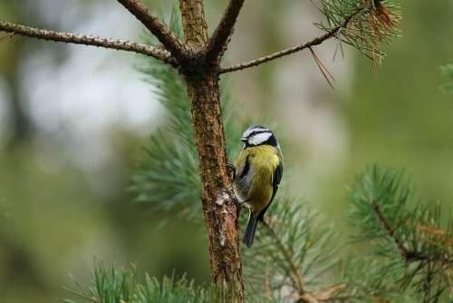 Tit Parus Major Tree Sitting On A Branch Bird