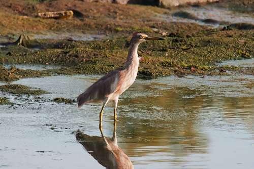 Heron Wild Bird Wildlife Wet Land Water Outdoor