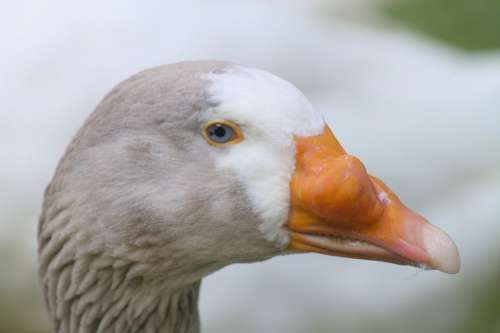 Oca Neoplasia Cancer Disease Nature Animals Bird