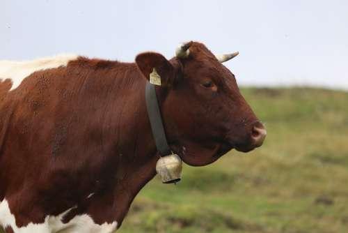 Cow Beef Head Livestock Milk Cow Meadow Grass