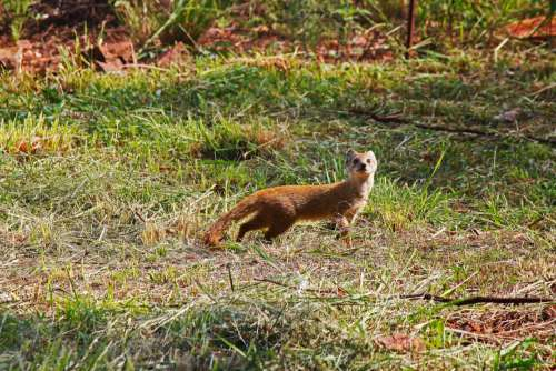 Yellow Tailed Mongoose In Sunlight