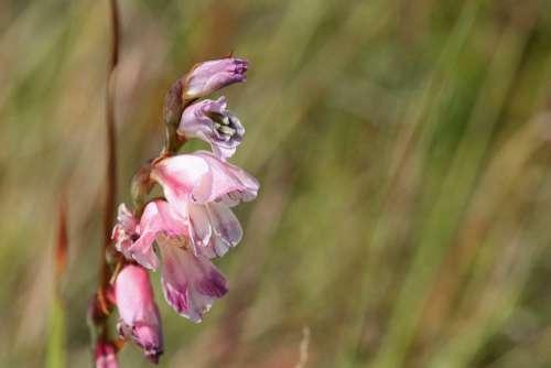 View Of Light Pink Foxglove Flower