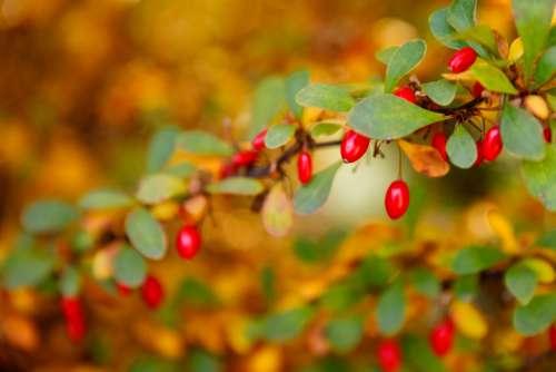 Berberis Berries