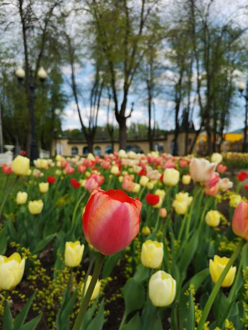 tulips moscow garden yellow red