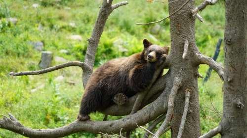 bear cinnamon bear mammal animal chilling