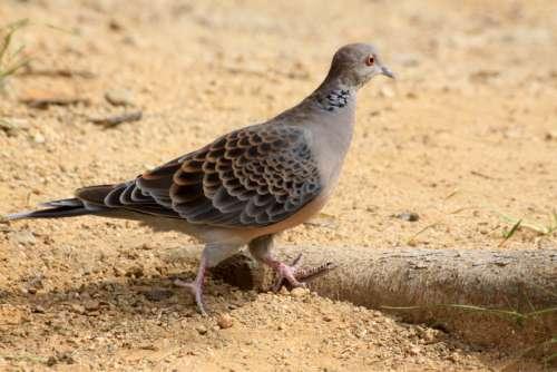 dove pigeon bird wing vertebrate