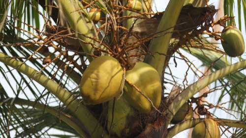 tree coconut plant flower Free Images