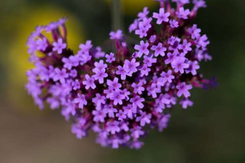 purple flowers nature outdoors fresh