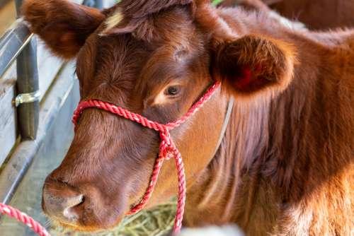 cow cattle close animal farm