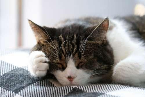 sleeping cat animal pet feline