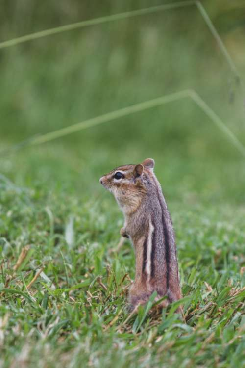 chipmunk animal nature widlife rodent