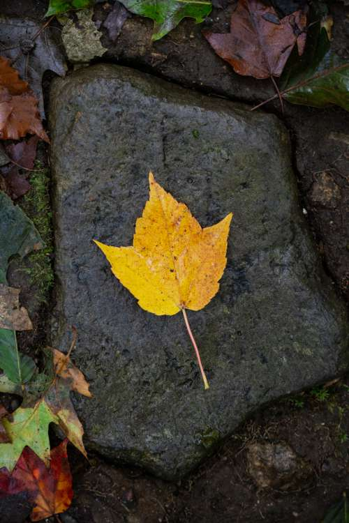 lone autumn leaf fall foliage