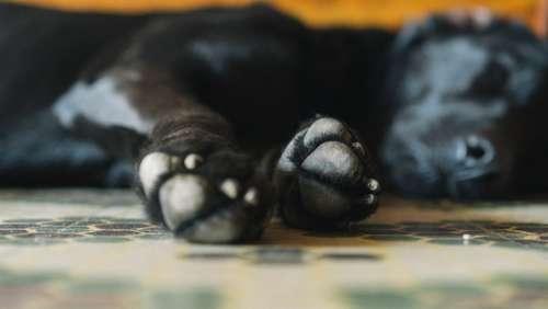 sleeping dog paws close up doggy