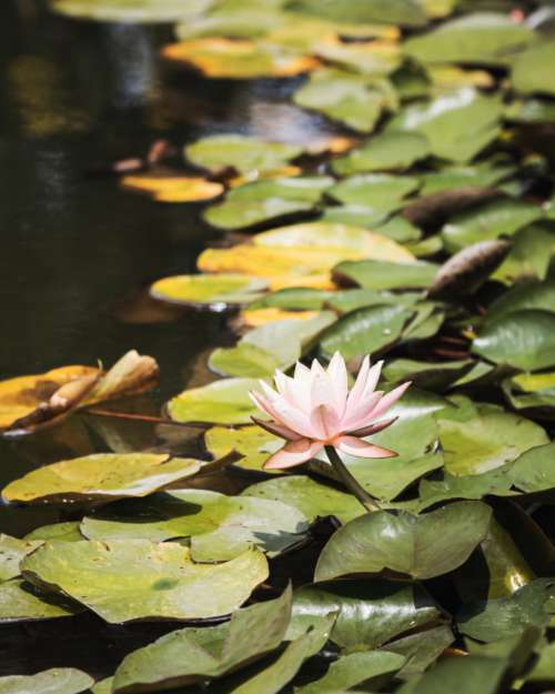 lily pads nature lotus flower