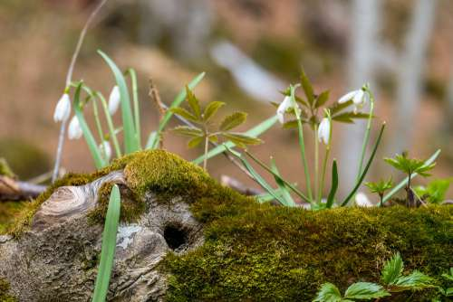 Snowdrops Growing on a Tree Trunk Covered in Moss