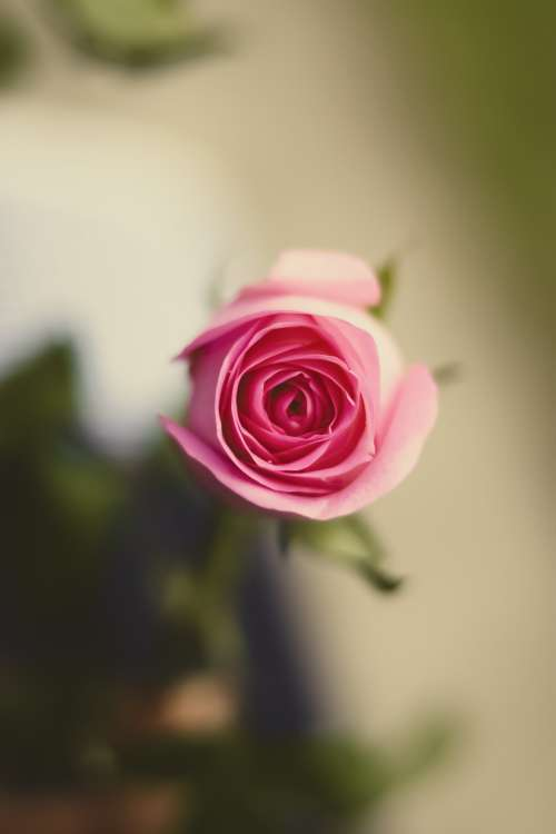 Looking Into the Heart Of A Perfect Pink Rose Photo