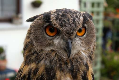 The Intense Stare Of An Owl's Red Eyes Photo
