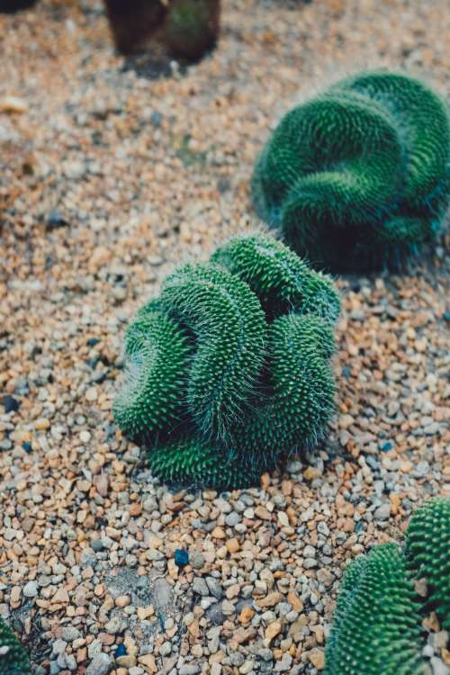 Curley Cacti Photo