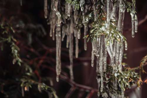 Groups Of Icicles Hang From A Trees Branches Photo