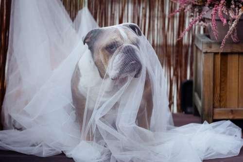 English Bulldog in a ghost costume
