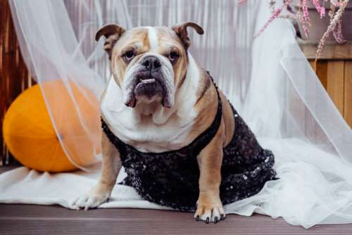 English Bulldog dress up for Halloween