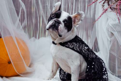 French Bulldog dressed up for Halloween