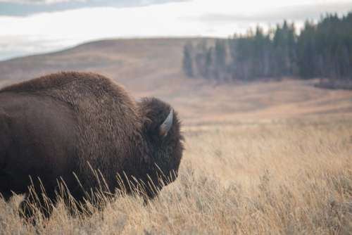 Bison Nature Wildlife Free Photo