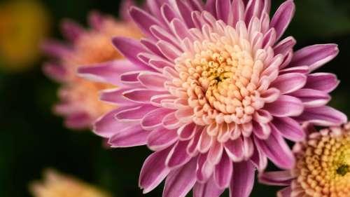Macro Pink Flower Free Photo