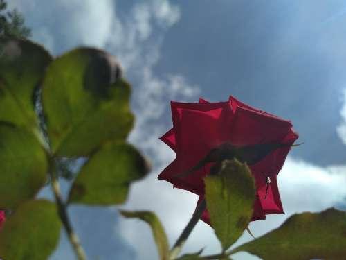Nature Rosa Plant Flower Flowers Romantic Rose