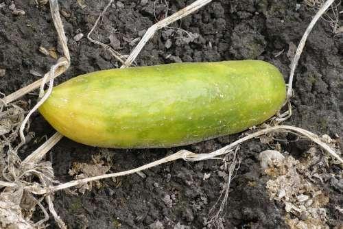 Cucumber Vegetable Garden Food Organic Vitamins