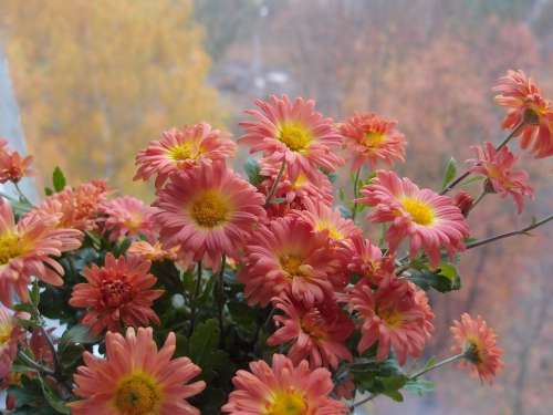 Flowers Chrysanthemum Window Orange Autumn October
