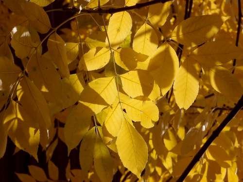 Autumn Foliage Leaves Yellow Sunny Sun October