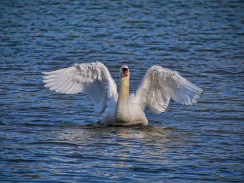 Swan Bird Plumage Rhine Alsace Nature Elegant