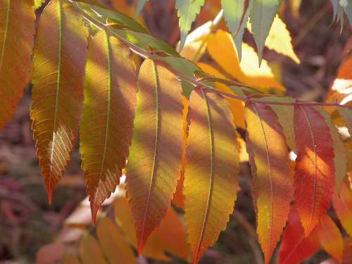 Autumn Foliage Leaves Yellow Red Sunny Sun