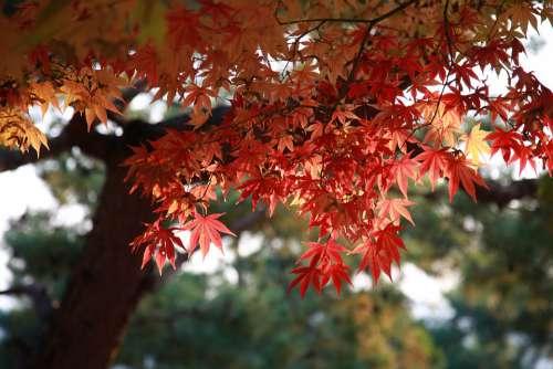 Autumn Leaves Maple Leaf The Leaves Autumn Nature