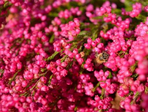 Heather Erika Heather Blossoms Plant Bee