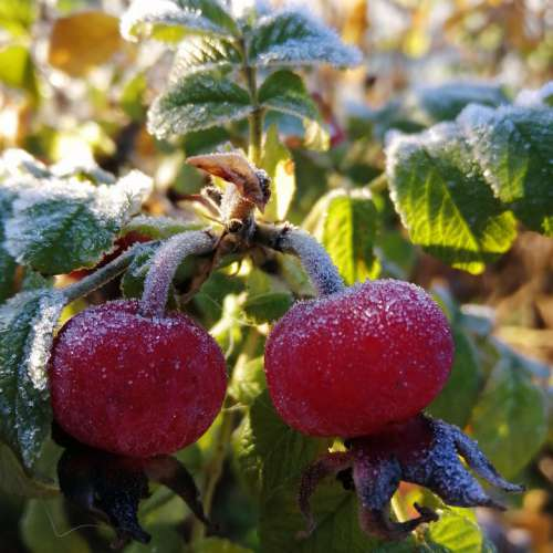 Rose Hip Frost Winter Nature Frozen Cold Snow