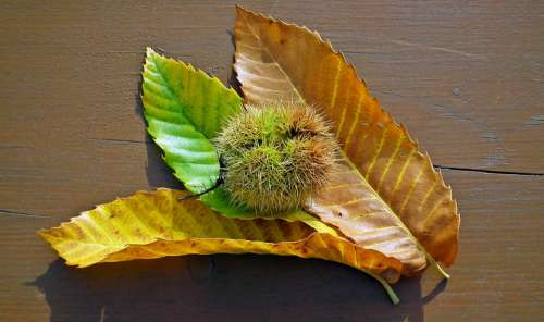 Chestnut Edible Foliage Barbed In The Fall Fruit