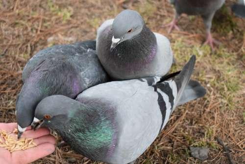 Pigeons Feeding Grey Birds Pen Wing Nature
