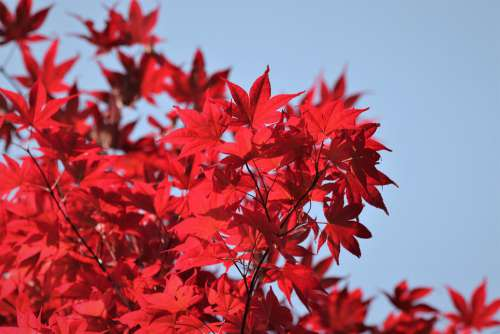 Tree Red Leaves Colorful Blue Sky Branches Spring
