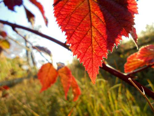 Red Leaves Nature Autumn