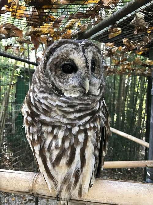 Owl Bird Nature Animal Eyes Wildlife Feather