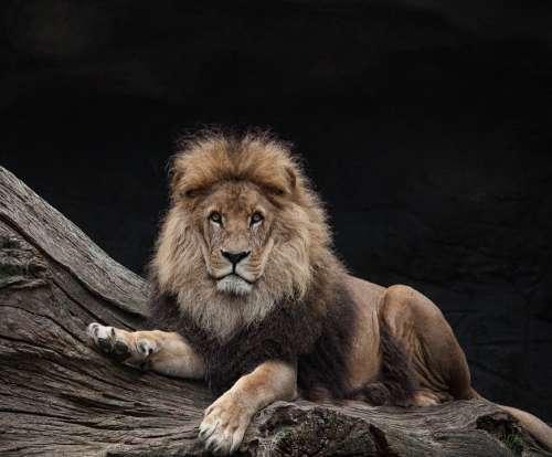 Lion Males King Predator